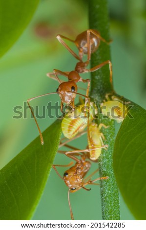 Red Ant and Leaf Hoppers Symbiosis - stock photo