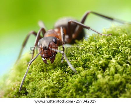 red ant formica rufa - stock photo