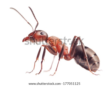 red ant formica rufa  on white background     - stock photo