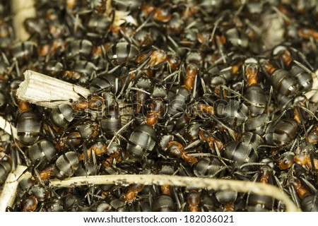 red ant hill close-up / Formica rufa - stock photo