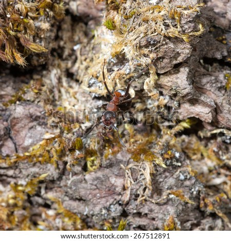 red ant on an old tree bark - stock photo