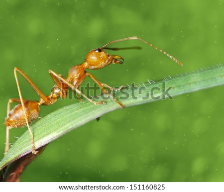 Red Ant on green background, Thailand  - stock photo