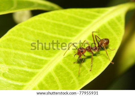 Red ant on leaf - stock photo