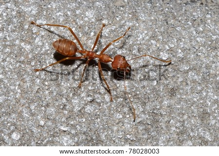 red ant on rock - stock photo