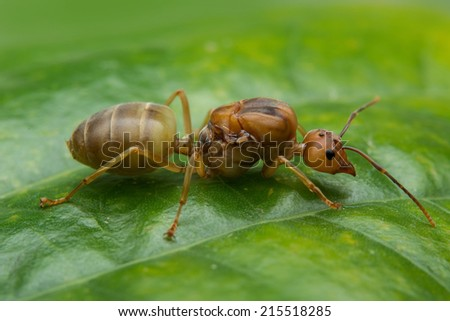 Red ant queen on green background - stock photo