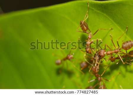 Red ant,Weaver Ants (Oecophylla smaragdina)