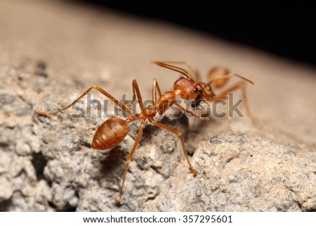 Red ant working on tree,Thailand - stock photo