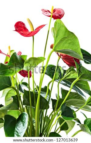 Red anthurium, isolated on white background - stock photo