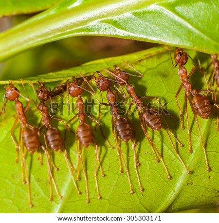 red ants - stock photo