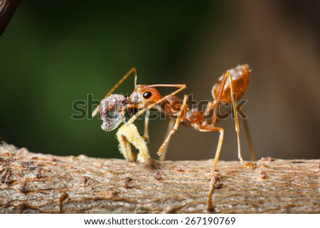 Red ants are feeding - stock photo