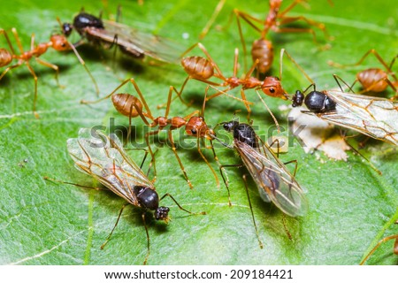 Red Ants army fighting with queen black ant - stock photo