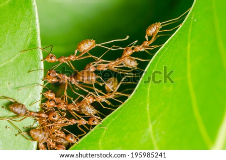 Red ants build home in teamwork power concept - stock photo