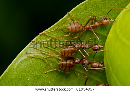 red ants team work - stock photo