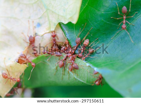 red ants working on the green leaves - stock photo