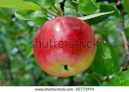 Red apple grow on the  branch against green foliage