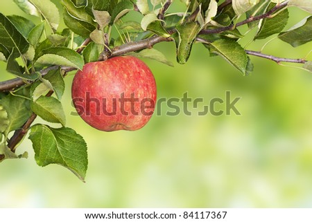 Red apple hanging on a branch. Clipping path.