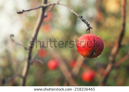 Red apple on apple's tree branch - stock photo