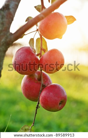 red apple on tree closeup - stock photo