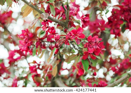 Red apple tree branch in bloom over natural defocused bokeh background, close up - stock photo