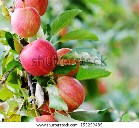 Red Apples Closeup, Tree Branch Detail - stock photo