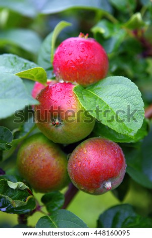 Red apples covered with raindrops  in autumn, typical sight in Aland Island. - stock photo