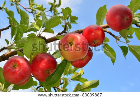 Red apples grow on a branch against the blue sky - stock photo