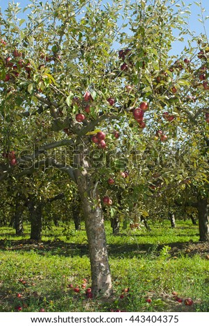 red apples hanging on trees at orchard - stock photo