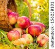 Red apples in autumn outdoors. Thanksgiving holiday concept - stock photo