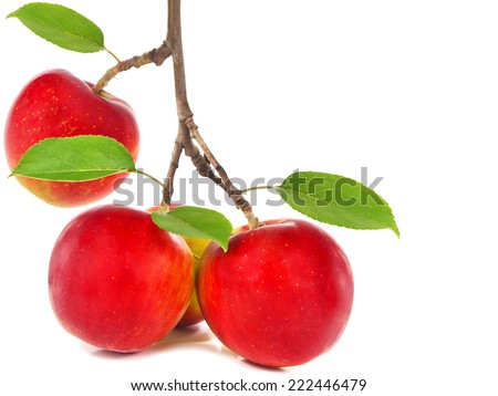 Red apples on apple tree branch and copy space - stock photo