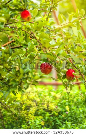 Red apples on branch in orchard after rain, organic homegrown fruit on tree. - stock photo
