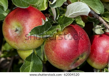 red apples on the tree in an orchard