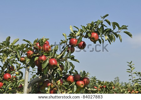 red apples on tree - stock photo