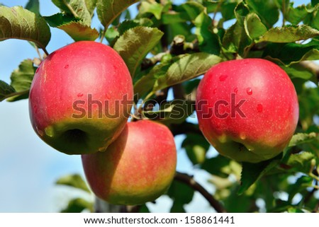 red apples on tree branch - stock photo