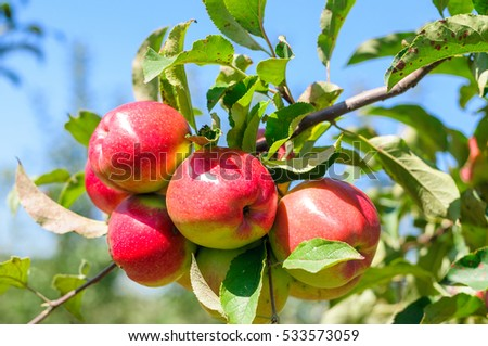red apples on young tree branch in an orchard