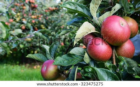 Red apples ripe for picking from a bountiful orchard full of fruit