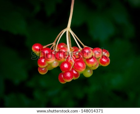 Red arrow-wood berry cluster over dark leaves background