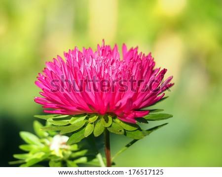Red aster in a garden. Selective focus. - stock photo