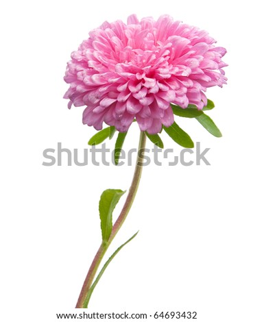 Red aster over white background - stock photo