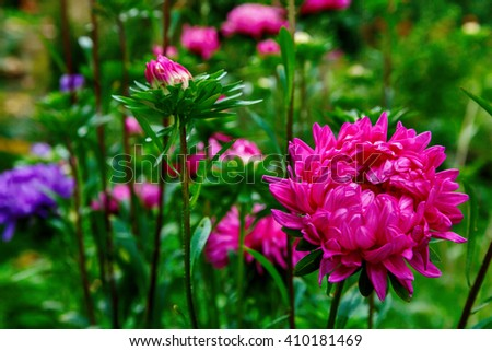 Red Asters blooming in the garden - stock photo
