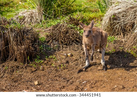 Red australian kangaroo, Macropus rufus, in famous Pebbly Beach in the Murramarang National Park, south coast region, New South Wales, Australia. - stock photo