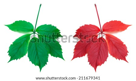 Red autumn and green virginia creeper leaves on white background - stock photo