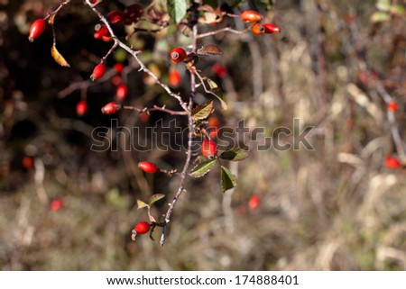 Red autumn berries and brown and green leaves  - stock photo