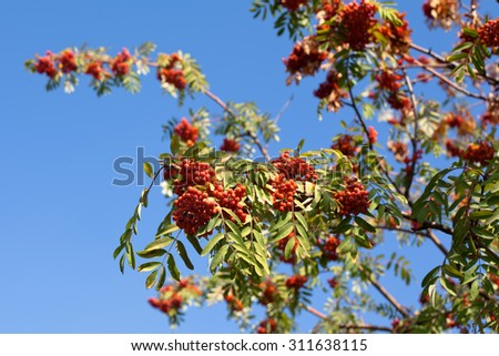 Red autumn berries and yellow and green leaves