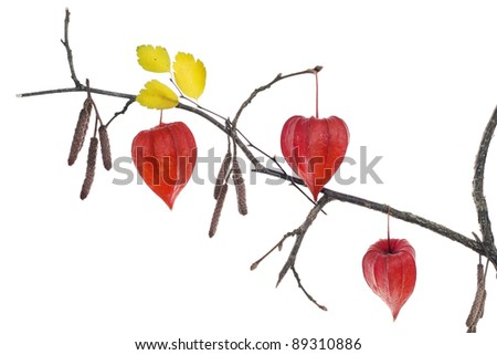 Red autumn boxes of Chinese Lantern  (Red Hearts) on branch   isolated