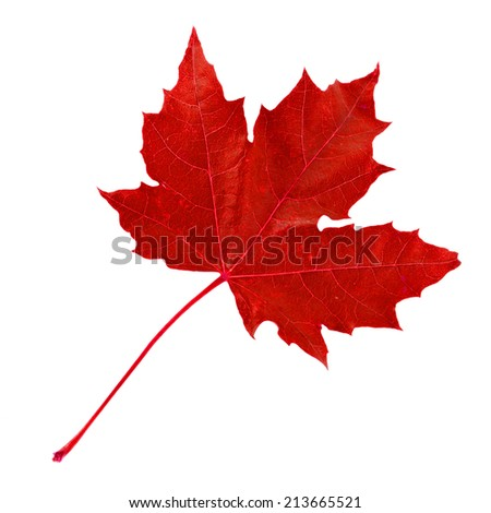 red autumn fall leaf  isolated on a white background - stock photo