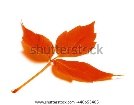 Red autumn leaf. Isolated on white background. Selective focus. - stock photo