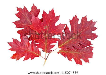 Red autumn leaf oak isolated on white background - stock photo