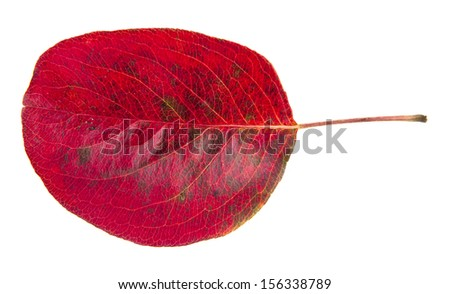 red autumn leave are isolated on a white background