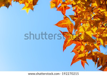 Red  autumn leaves with the blue sky background - stock photo