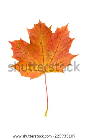 Red autumn maple leaf isolated on white background with clipping path - stock photo